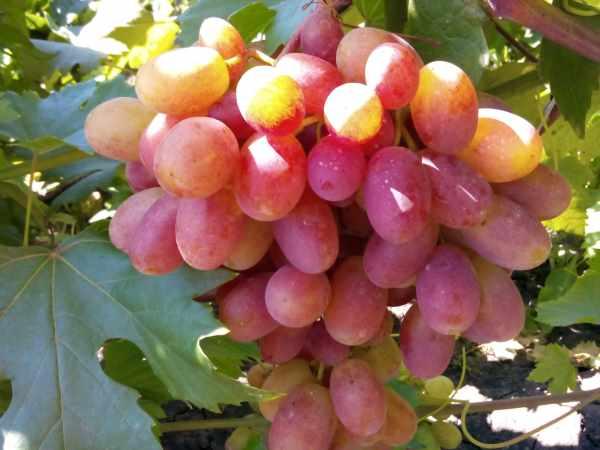 1499447685_bornaja-kislota-dlja-vinograda.jpg