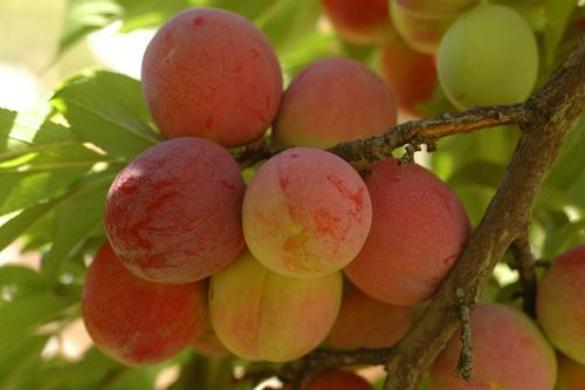 persikovaya-sliva.jpg
