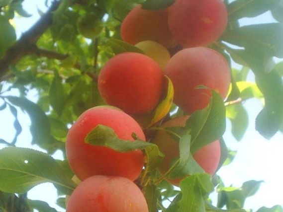Sliva-persikovaya.jpg