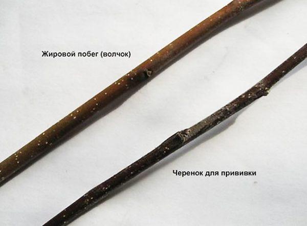 cherenki-dlya-privivki.jpg