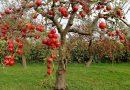 Полукарликовые сорта яблонь для Подмосковья