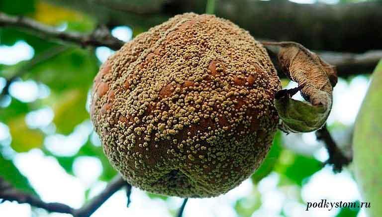 Plodovye-derevya-gnil.jpg