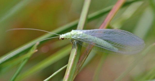 Chrysopidae-2-640x337.jpg