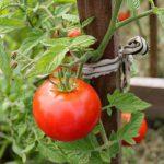 Podkormka-tomatov-narodnymi-sredstvami-v-otkrytom-grunte-1-150x150.jpg