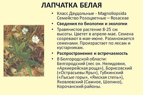 poleznye-svoystva-lapchatki-beloy-4.jpg