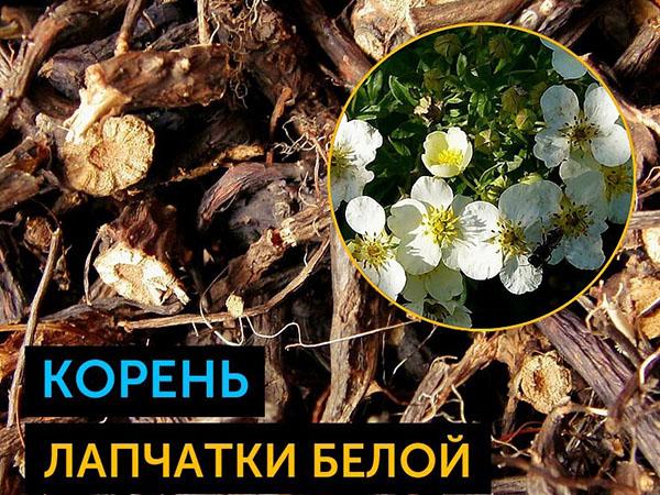 poleznye-svoystva-lapchatki-beloy-9.jpg