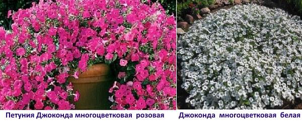 petuniya-dzhokonda-4.jpg
