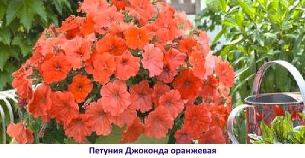 petuniya-dzhokonda-5.jpg