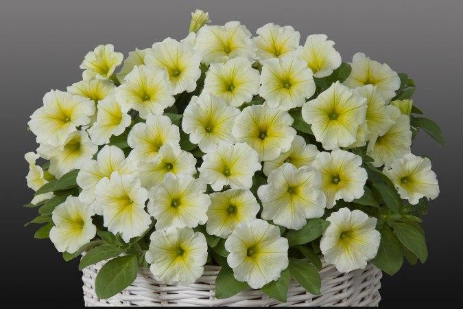 Petunia_Gioconda_Lime_Yellow.jpg