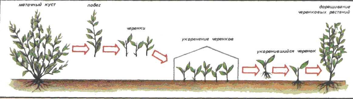 Размножение-кизила-черенками.jpg