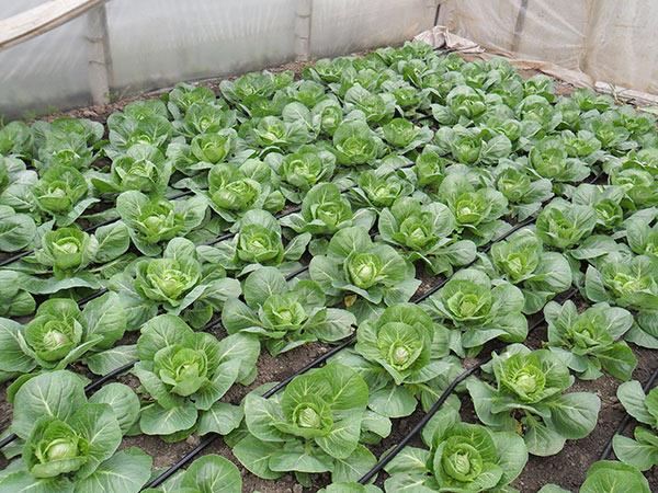 Выращивание-капусты-в-теплице.jpg