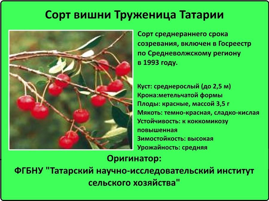 sort-vishni-truzhenica-tatarii.jpg