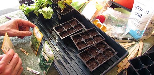 salat-na-podokonnike-posev.jpg