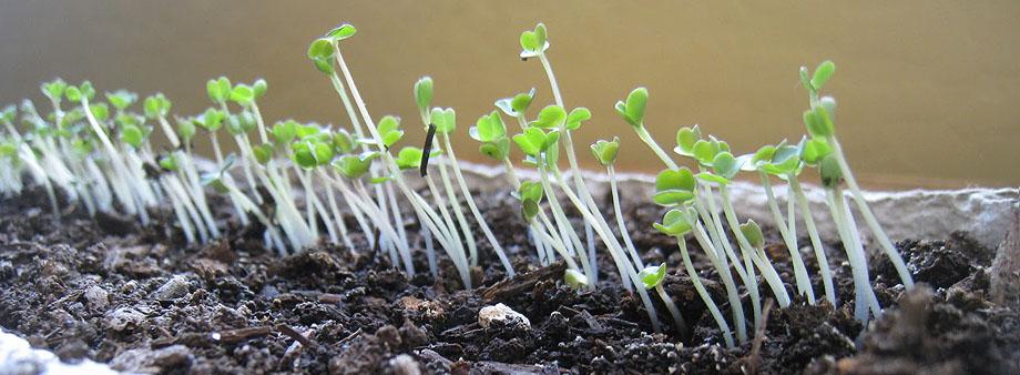 vskhody-listovogo-salata.jpg