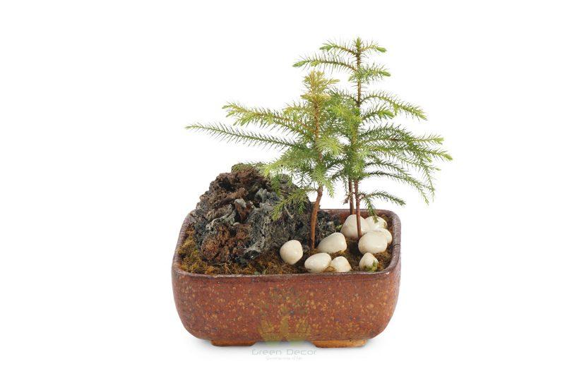araucaria_bonsai_1-800x533.jpg