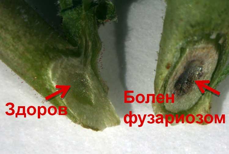 wilt-fusarium-srez.jpg