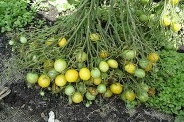 tomatildi74.jpg