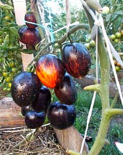 tomat-gargamel.jpg