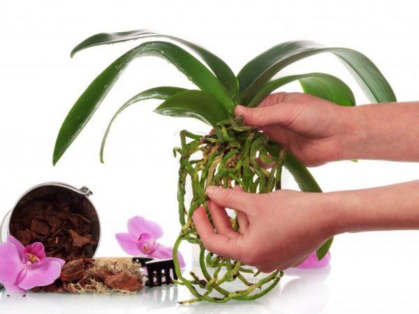 u-orhidei-zhelteet-i-sohnet-stebel3-1-600x450.jpg