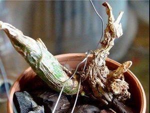 zasyihaet-orhideya-chto-delat-1-600x450.jpg