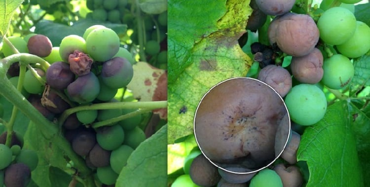 3_26_2014-Caption-Black-Rot-on-grape-cluster.-800x561.jpg