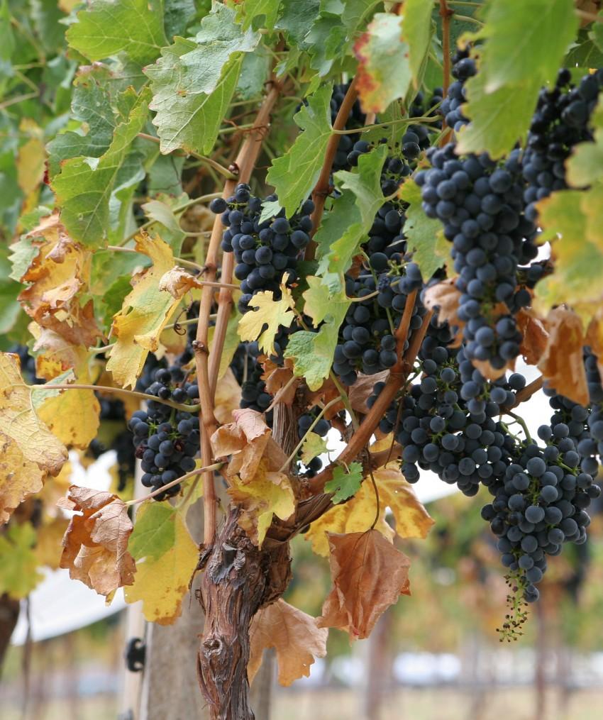 U-vinograda-sohnut-listya-po-krayam-i-skruch-31.jpg