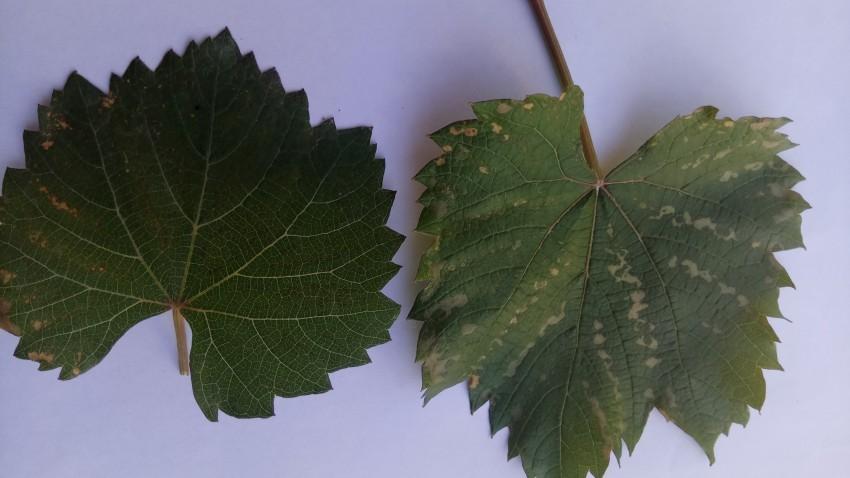 U-vinograda-sohnut-listya-po-krayam-i-skruch-5.jpg