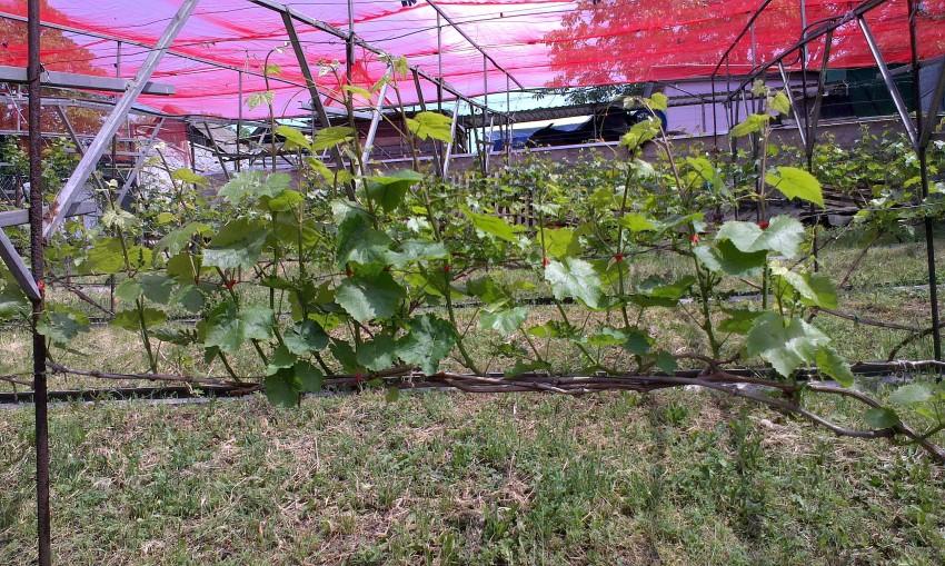 U-vinograda-sohnut-listya-po-krayam-i-skruch-7.jpg