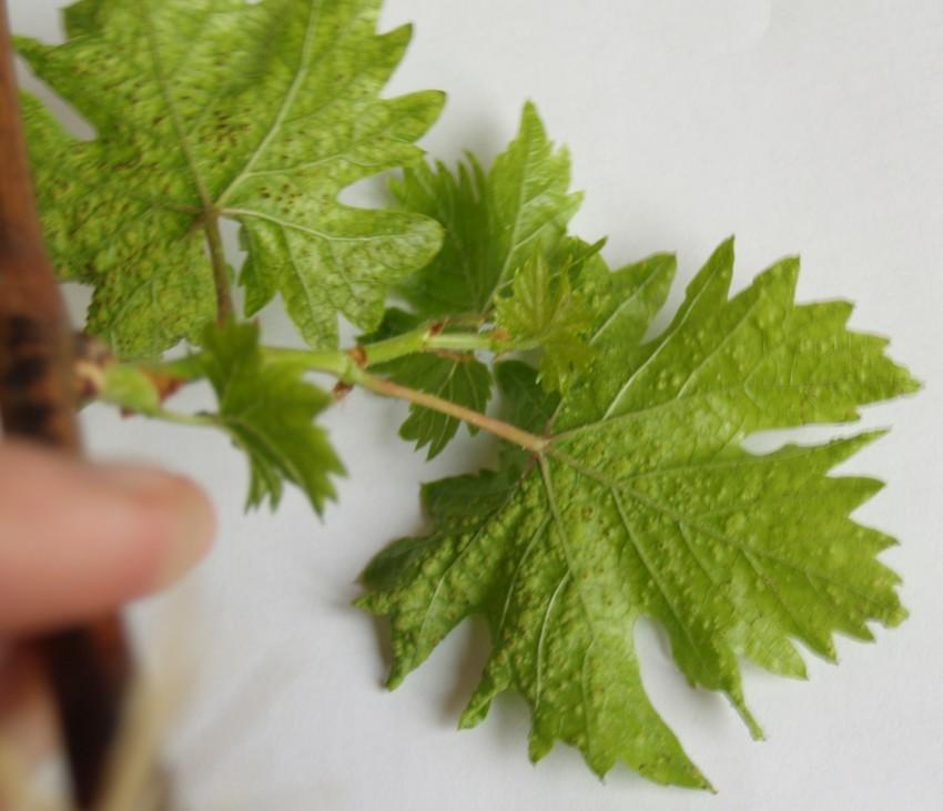 U-vinograda-sohnut-listya-po-krayam-i-skruch-8.jpg