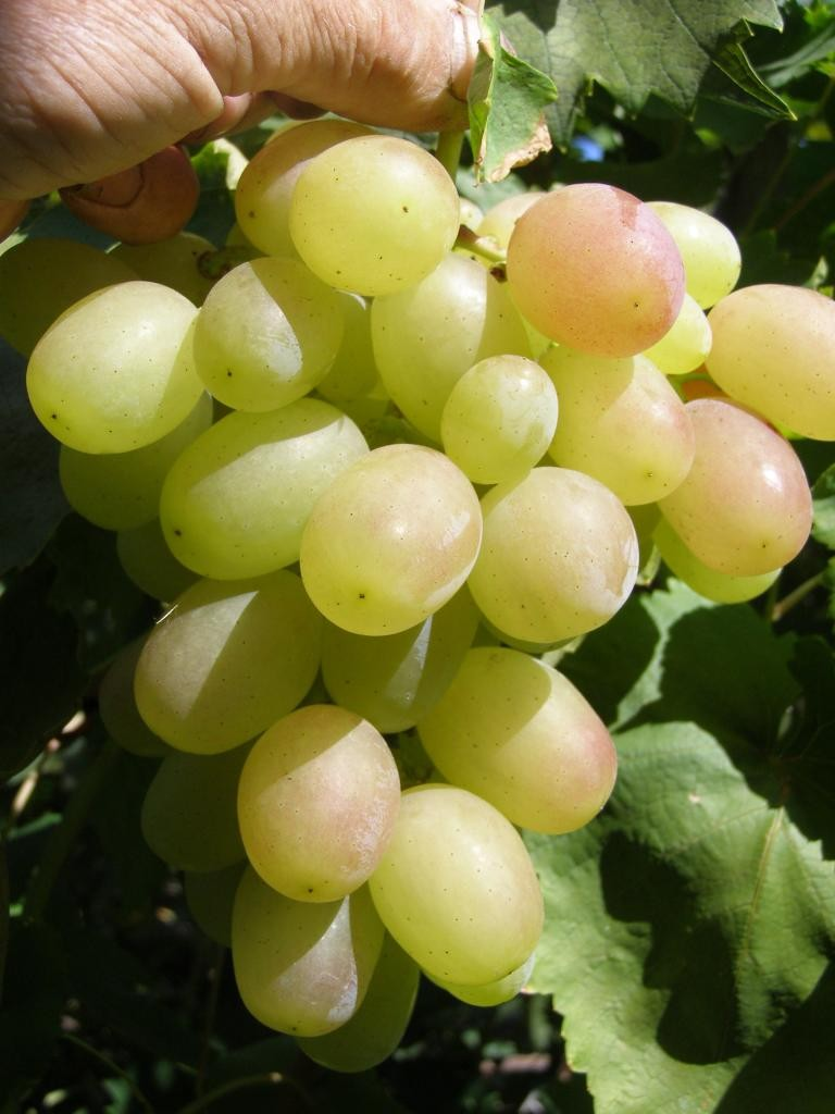 Vinograd-vostorg-7.jpg