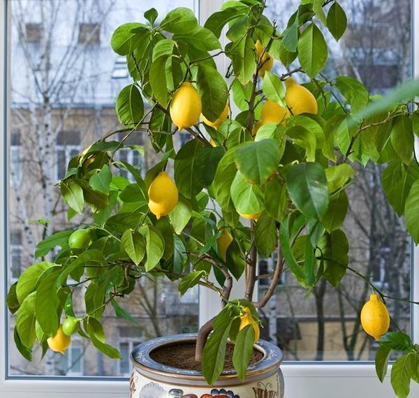 Лимон-растение.jpg