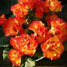 primula-rozanna-raznovidnosti-i-pravila-ih-vyrashchivaniya-22.jpg