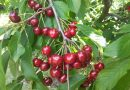 Чем отличается вишня от черешни – как отличить дерево и правильно выбрать саженцы