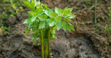 Любисток выращивание и уход — 5 секретов