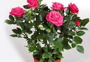Роза патио: фото, описание, сорта, особенности разведения и ухода