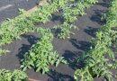 Сорняк (трава) американка (Галинсога, Галинзога): фото, меры борьбы