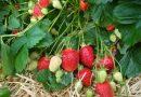 Итальянская клубника Альба: описание и характеристики сорта, советы по уходу и выращиванию