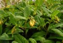Польза, лечебные свойства и противопоказания к употреблению растения живокость