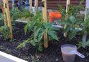 Подкормка рассады томатов и перца дрожжами в домашних условиях