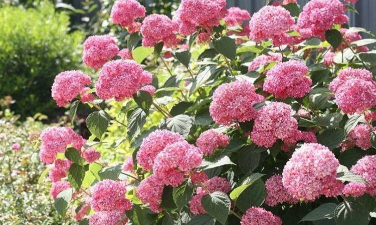 gortenziya-drevovidnaya-pink-annabel.jpg