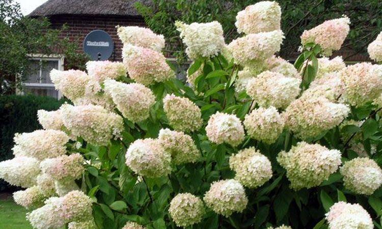gortenziya-drevovidnaya-grandiflora.jpg