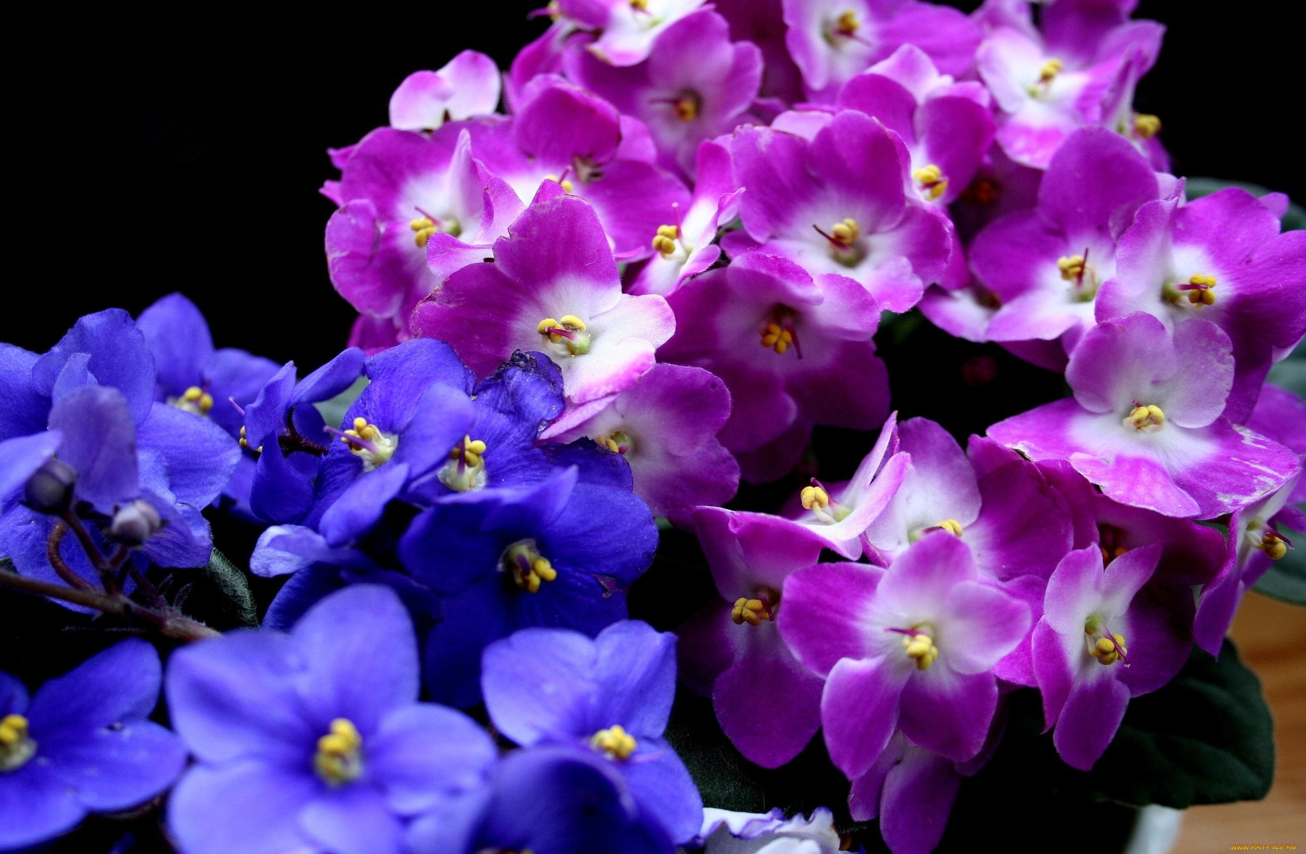 cvety-fialki-rozovyj-fioletovyj-603093.jpg
