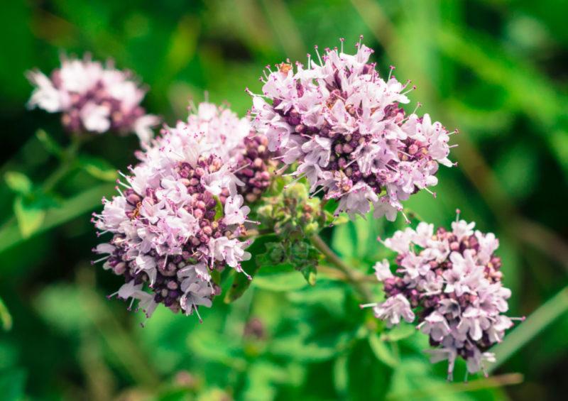 priroda-cvety-dushica-leto-800x565.jpg