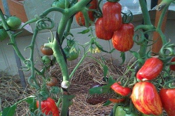 tomat-bezumie-kasadi_1.jpg