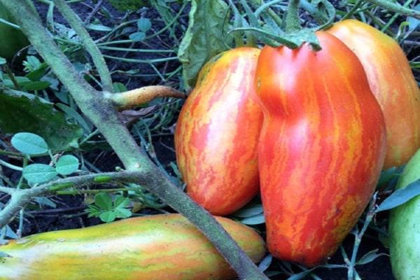 tomat-bezumie-kasadi_2.jpg