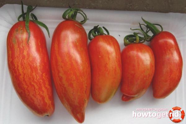 primenenie-sorta-tomatov-bezumie-kasadi.jpg