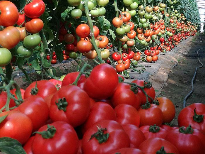 tomat-belle-opisanie-2.jpg