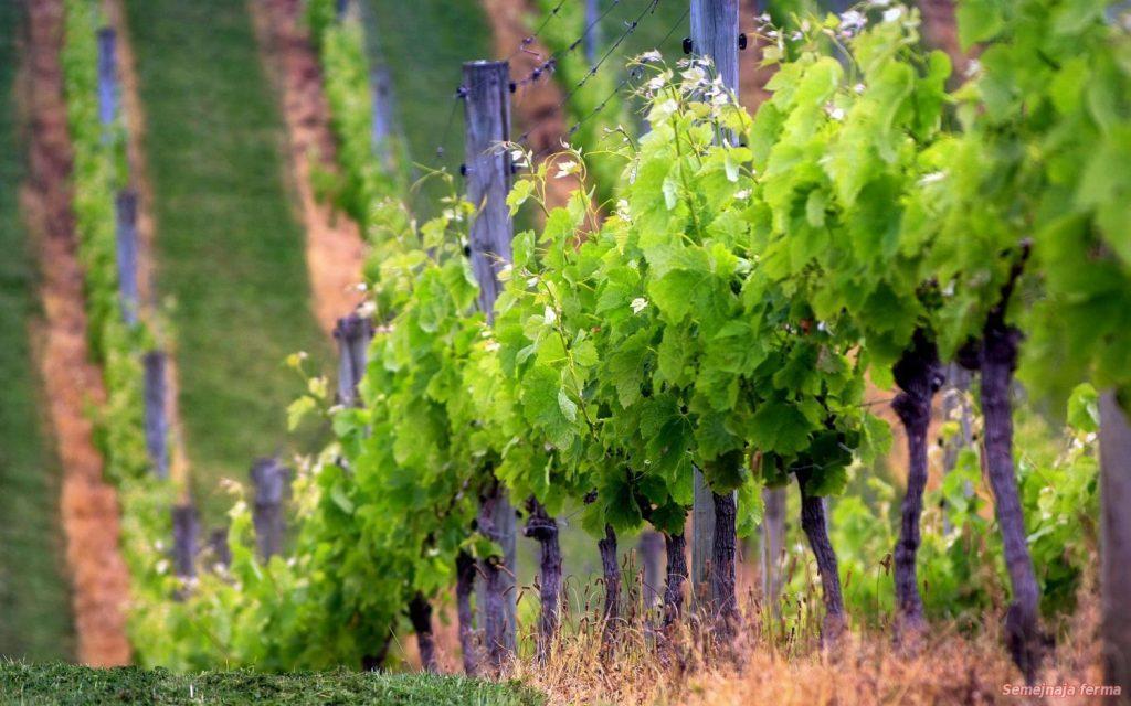 veernaja-formirovka-vinograda-dlja-chajnikov-1024x640.jpg