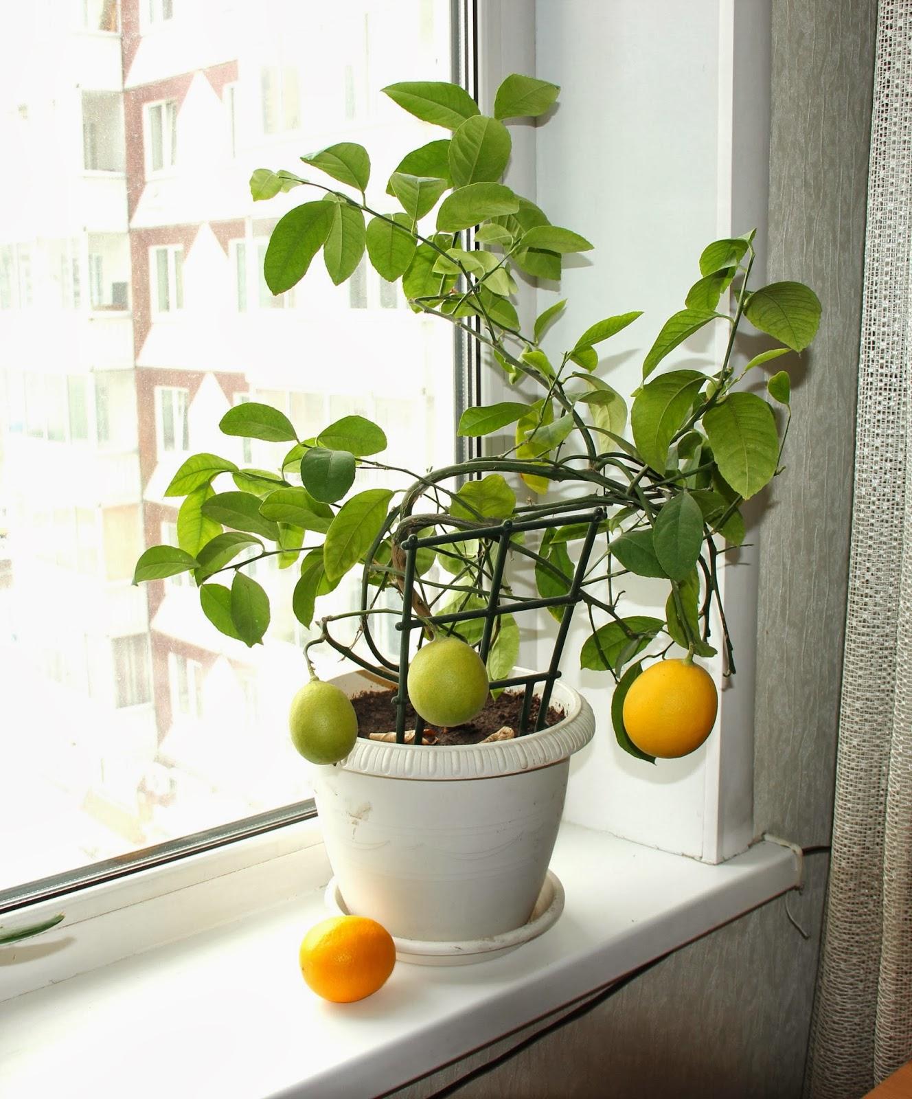 Domashnij-limon.jpg