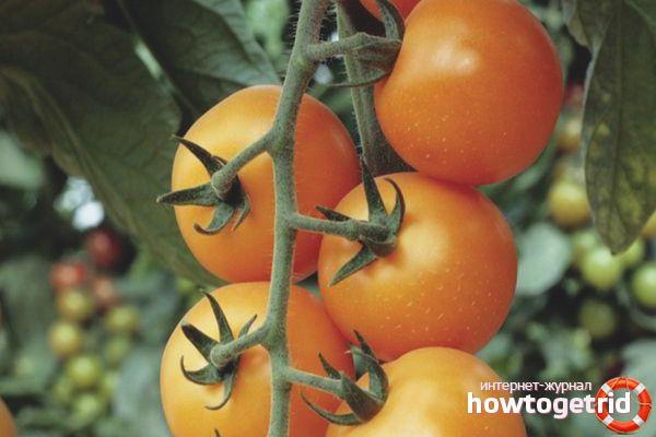 pomidory-sorta-cherri-kira.jpg